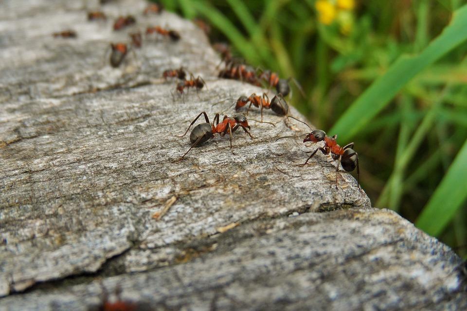 Ameisen im Garten